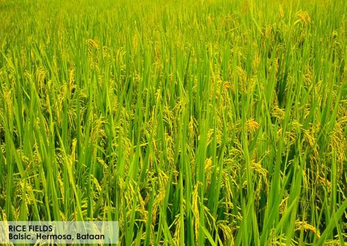 7-RICE-FIELDS
